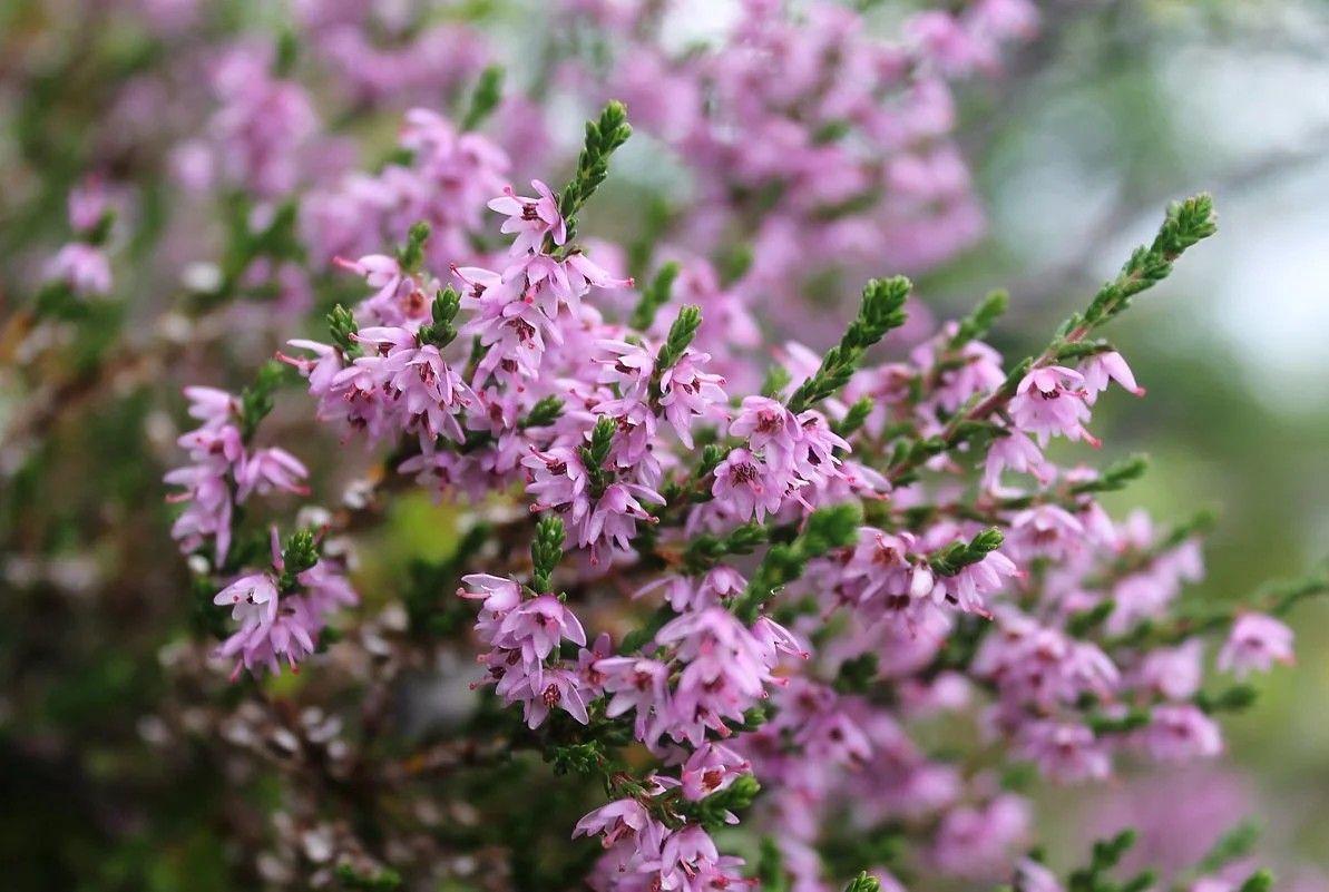 вереск, растения, экология