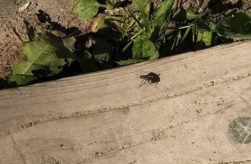Хищный жук скакун-межняк