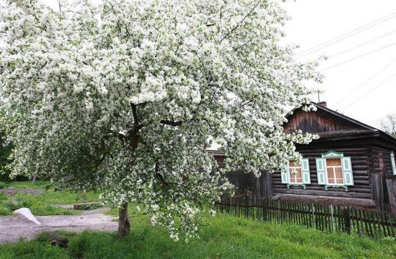 вишня, деревня