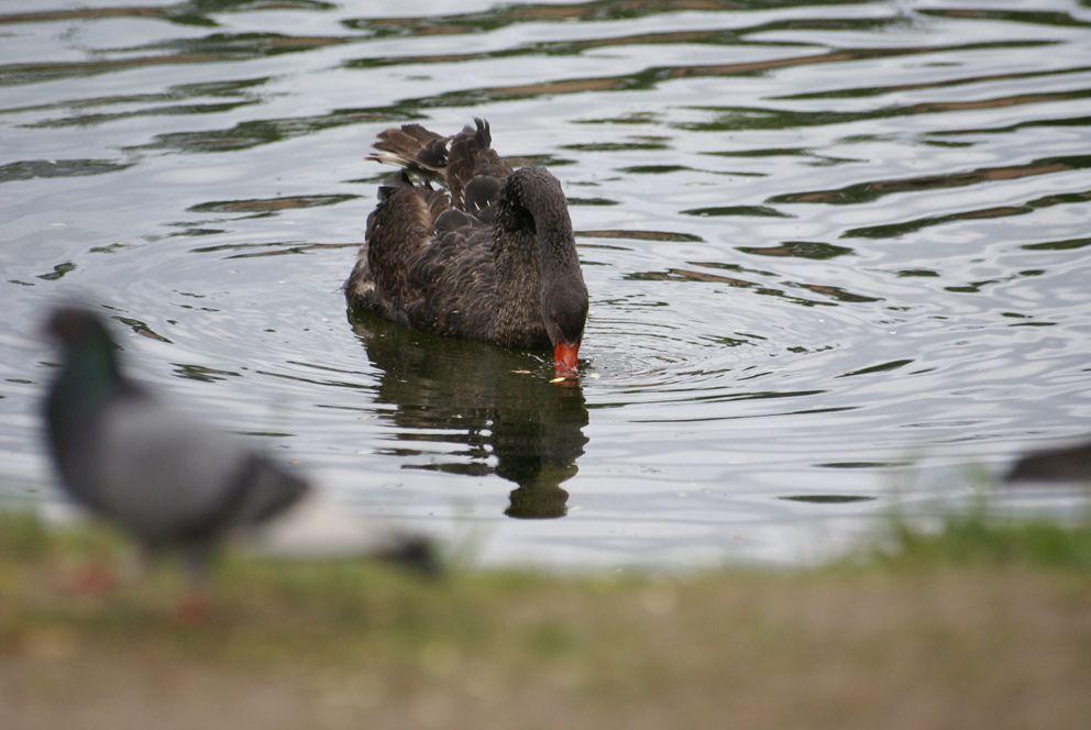 Черный лебедь на пруду в Главном ботаническом саду РАН