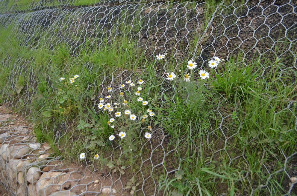 На плато уже цветет лесная ромашка.