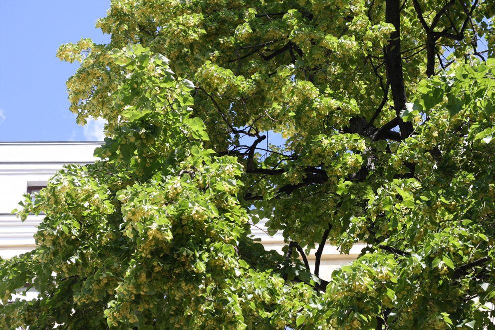 Ильинский сквер, деревья