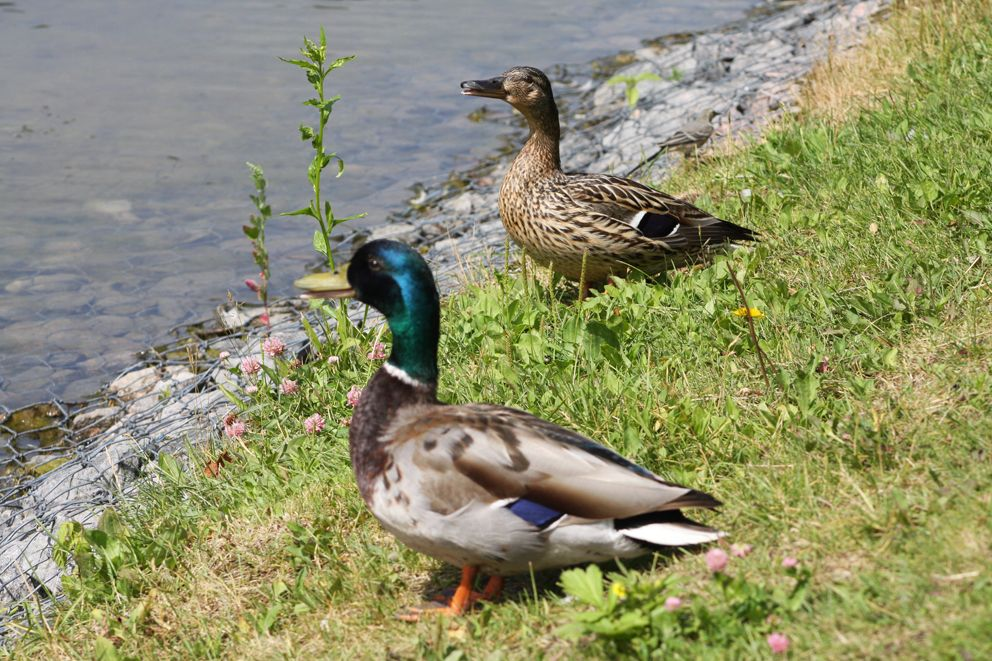 пруд, утка, природа