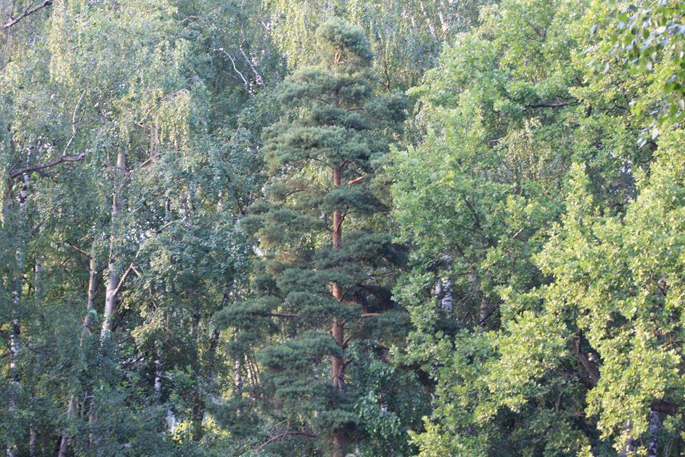 Зелени в Лианозо действительно много-березы, сосны и дубы
