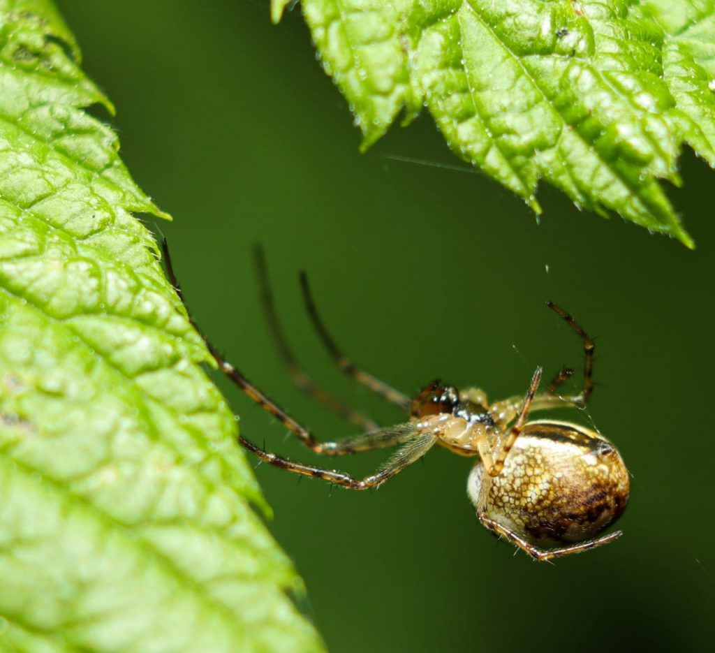 пауки - тетрагнатиды. метеллина