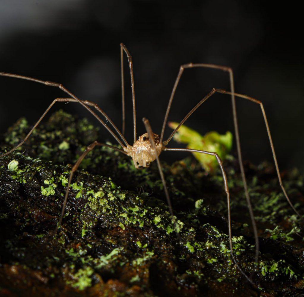 паук Сенокосец