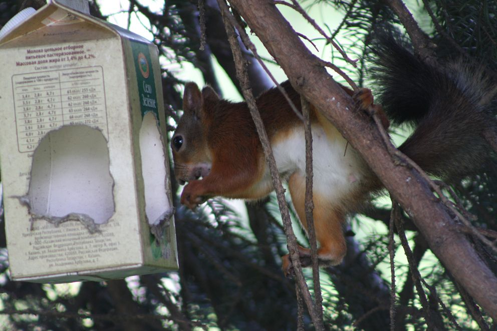 Белка достает еду из кормушки для птиц