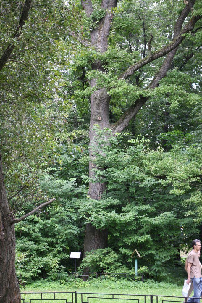 Черешчатый дуб в Усадьбе Кузьминки-Люблино