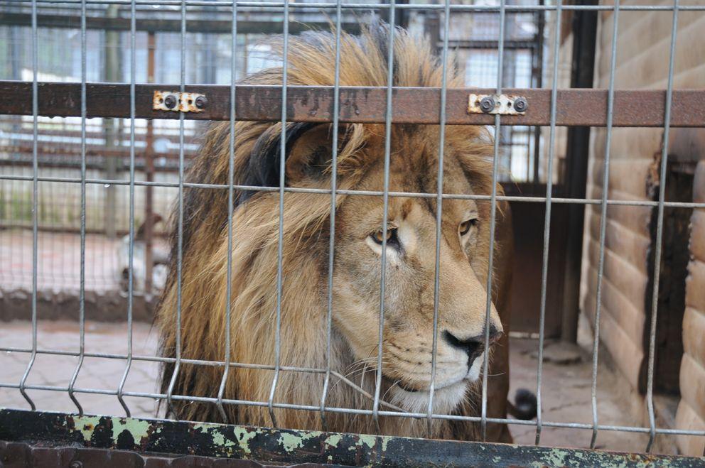 лев, животные, центр передержки