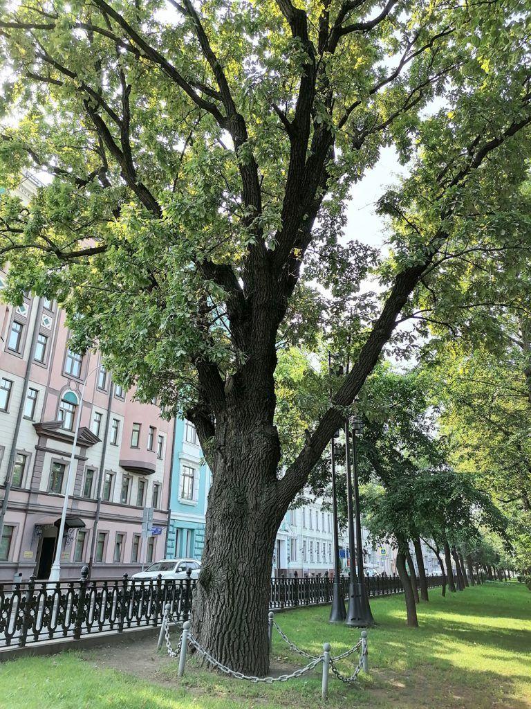 деревья, мониторинг, Тверской бульвар