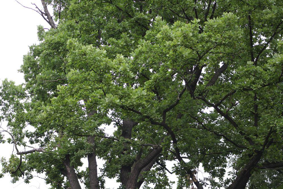 Крона старинного дуба в Усадьбе Кузьминки-Люблино