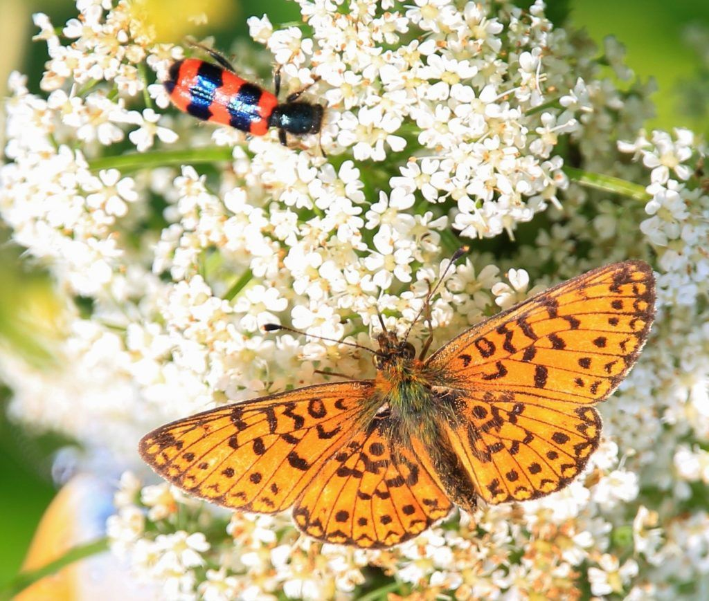 Перламутровка селена, бабочка