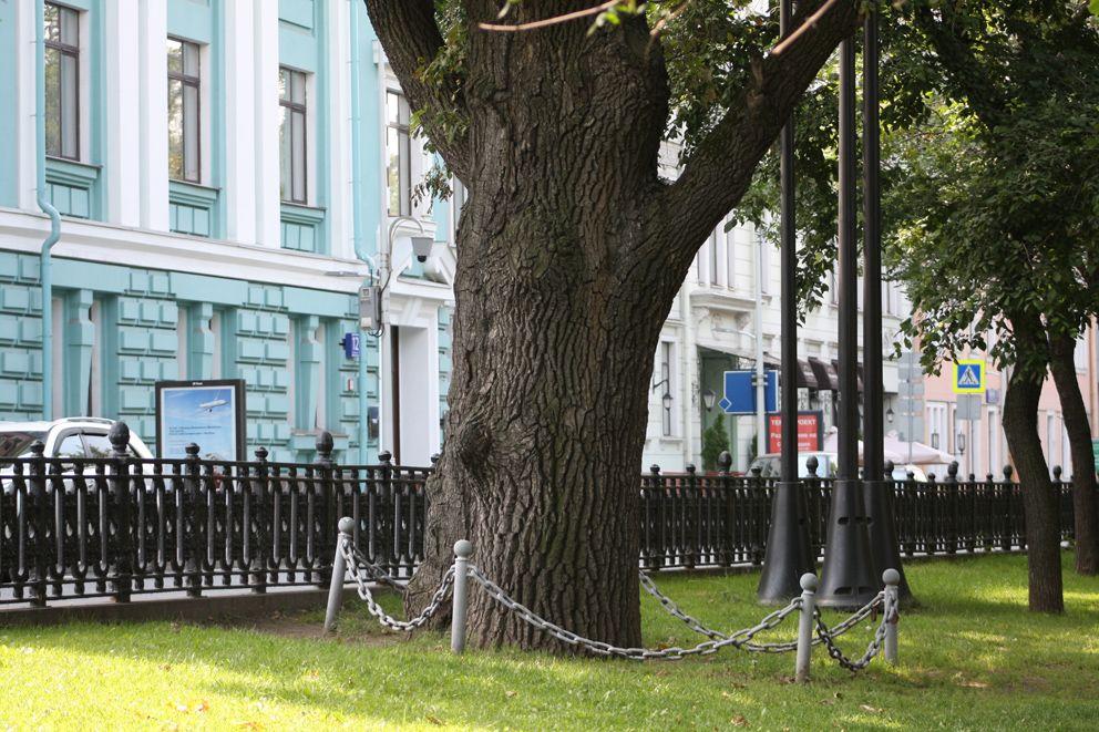 Пушкинский дуб на Тверском бульваре окружен цепью
