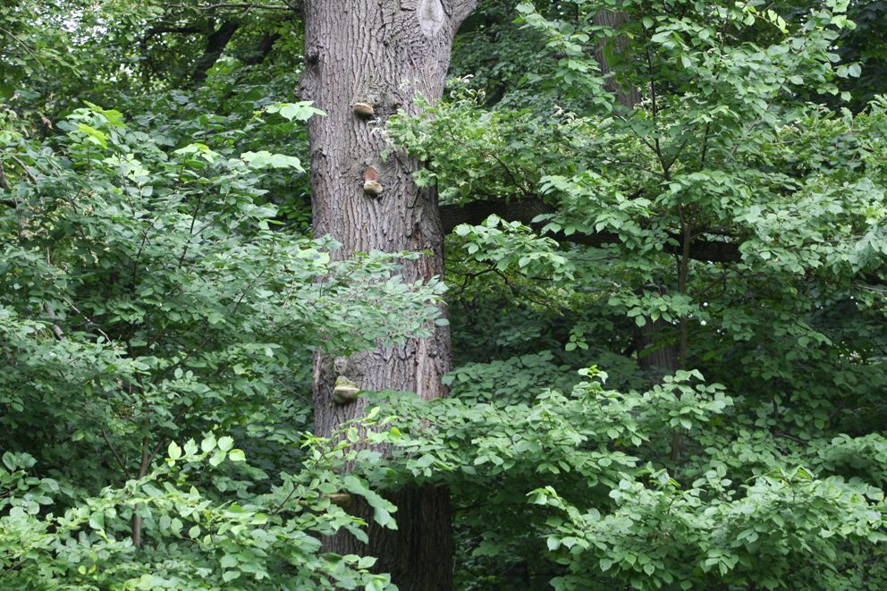 Ствол Черешчатого дуба в Усадьбе Кузьминки-Люблино