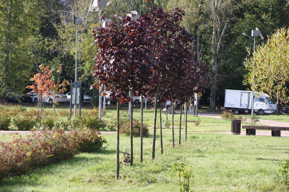 Ровный ряд кленов с бордовой листвой