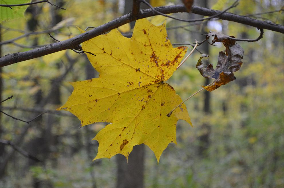 осень, клен, лист