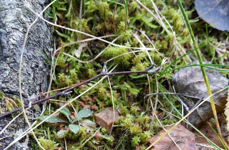 Синтрихия сельская, краснокнижный мох