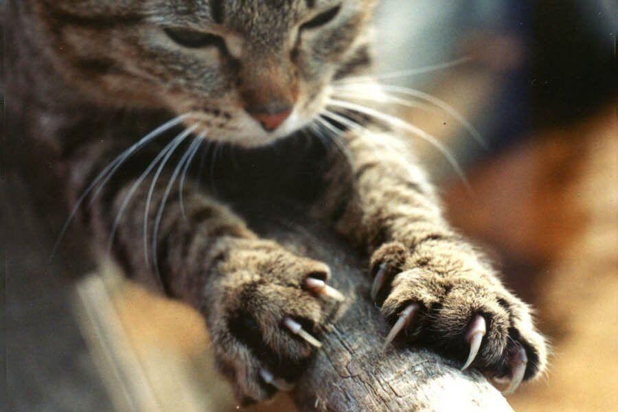 кошки, когти