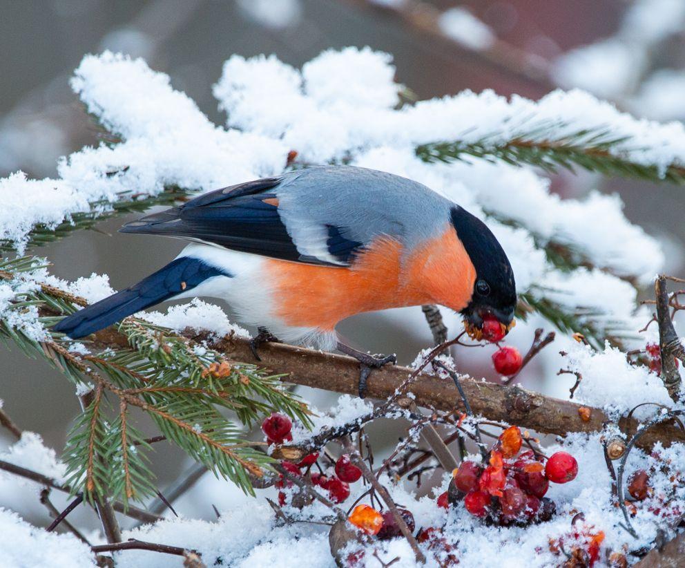 синица, зима, рябина, подкормка птиц