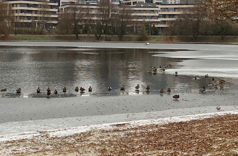 парк, снег, утки, пруд