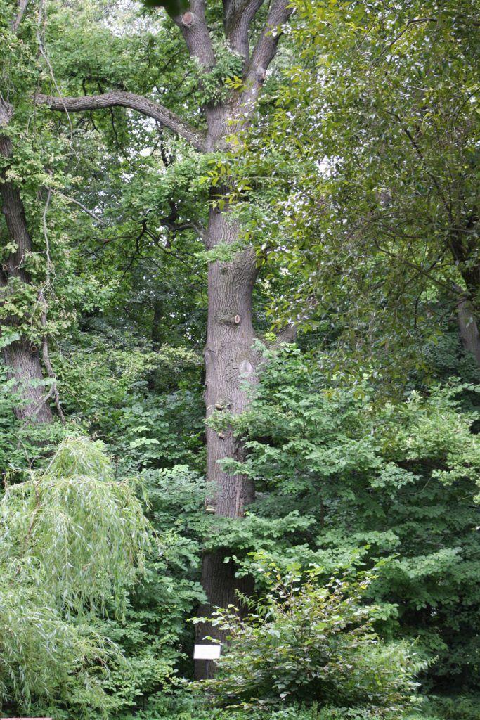 Знаменитый Петровский дуб спрятался среди листвы других деревьев