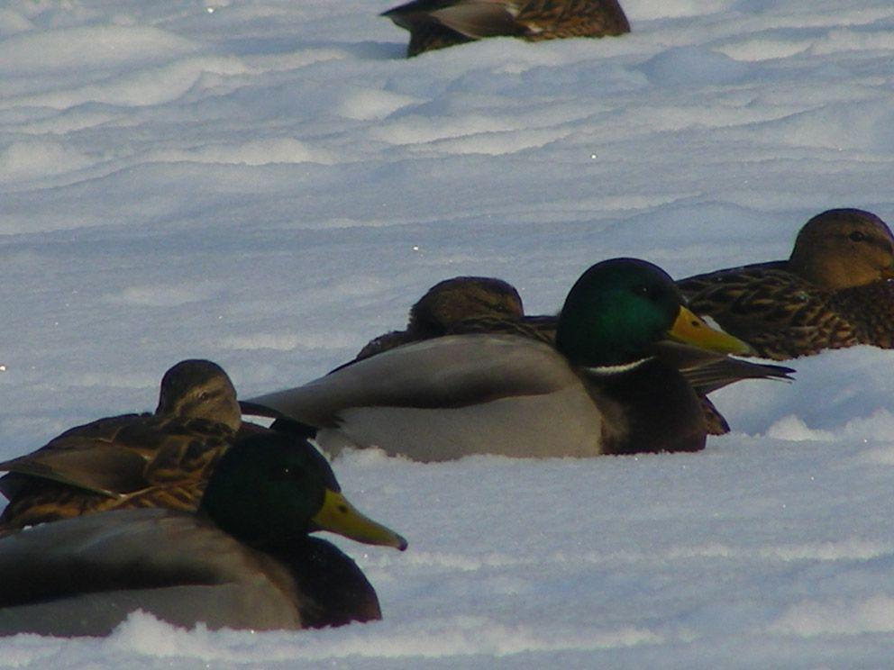 Утки отдыхают в снегу после кормежки