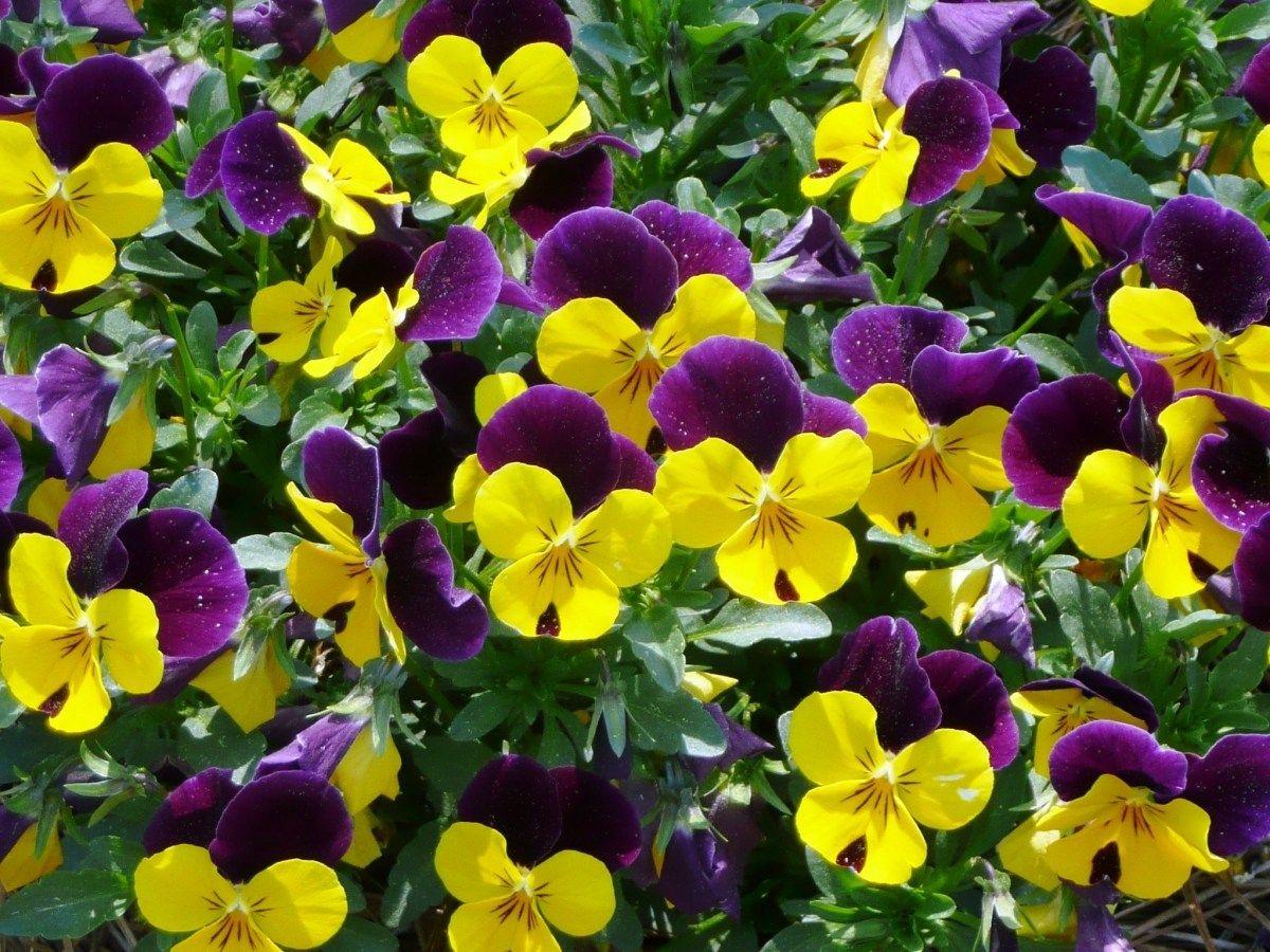 виола, анютина глазки, озеленение, цветы