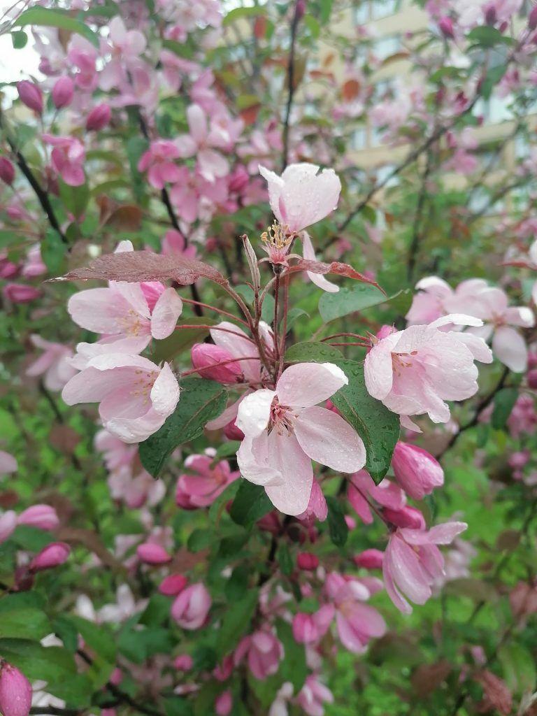 цветение, озеленение, кустарники, деревья, экология Москвы
