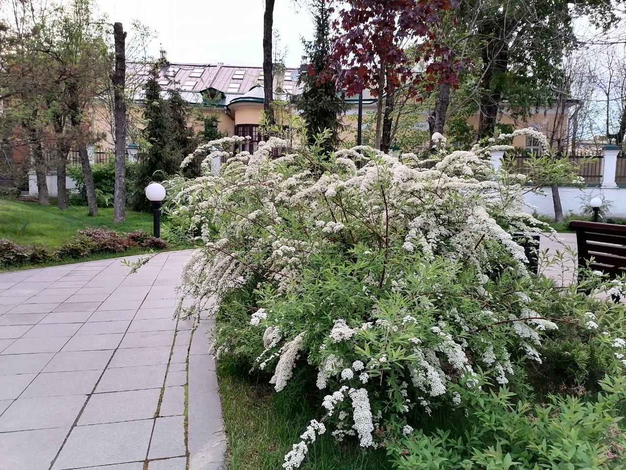 весна в Москве, озеленение, спирея весеннецветущая