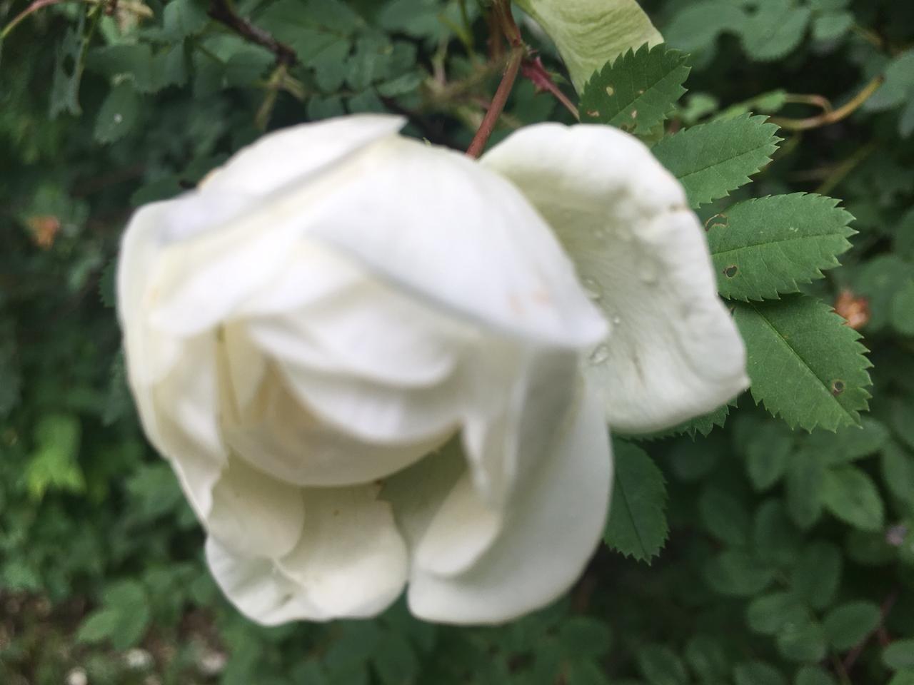 белый шиповник