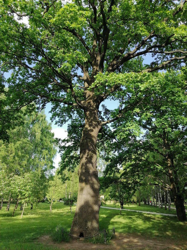 дуб, экология Москвы, старинные дубы