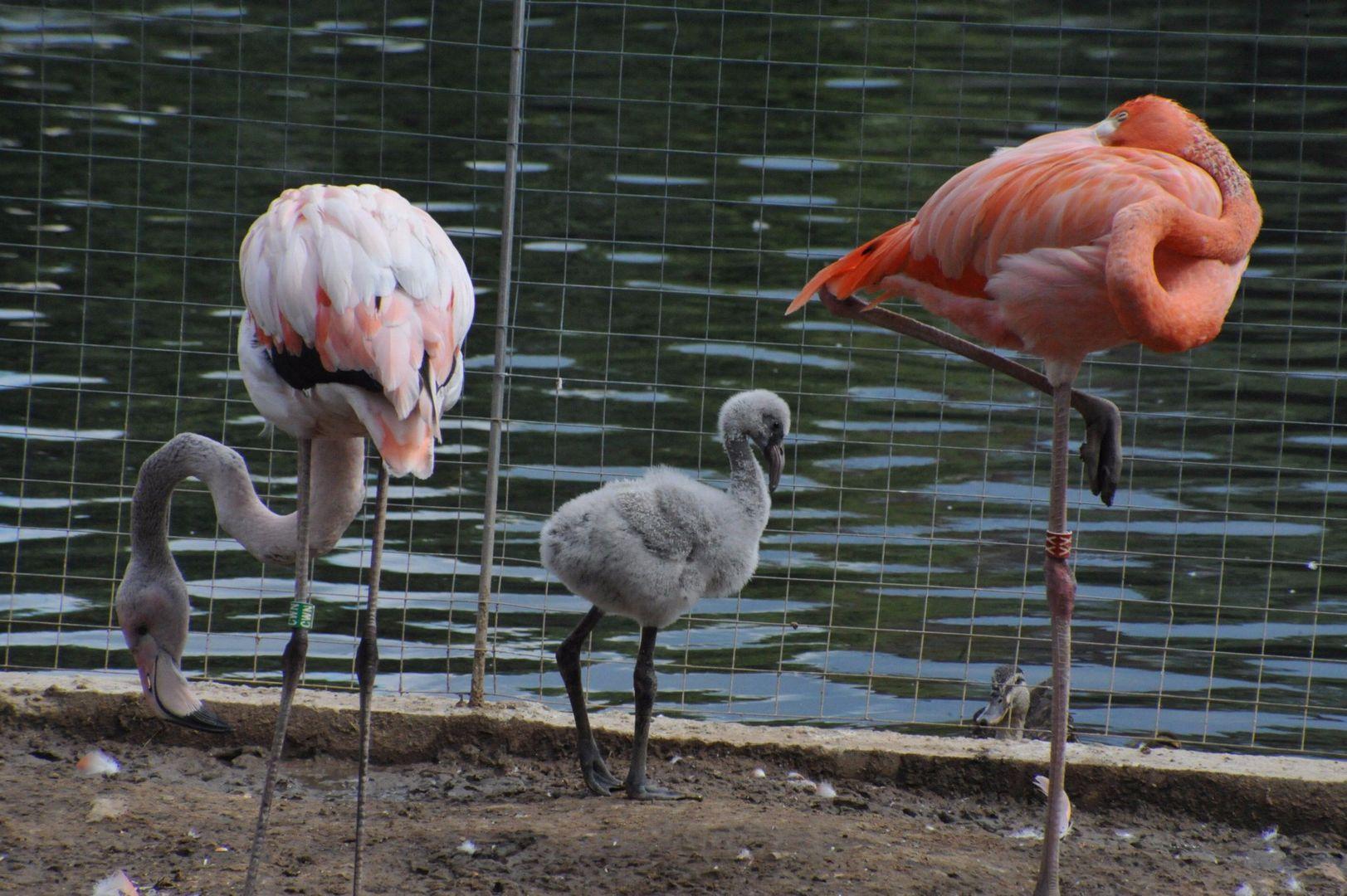 фламинго, зоопарк