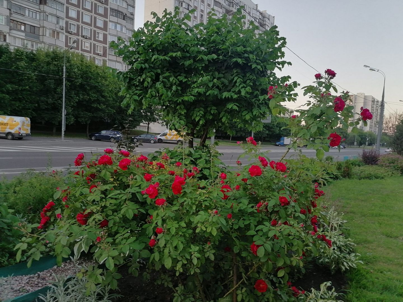 розы, лето, озеленение, погода